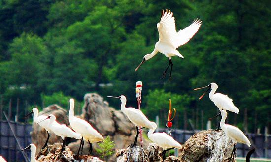 Endangered spoonbill birds thrive in Dalian, Liaoning