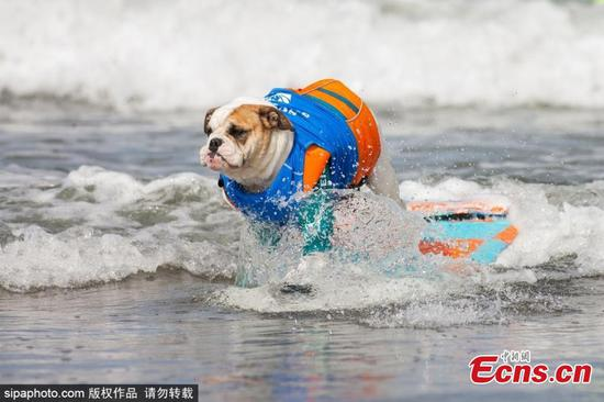 Dog surf competition at Del Mar's Dog Beach