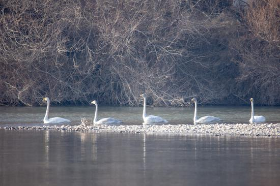 140 swans found wintering at Heihe Wetlands National Nature Reserve