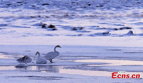 Swans at Bayanbulak Grassland create a fairytale winter scene