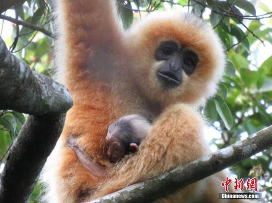 Gibbon cub spotted on South China island